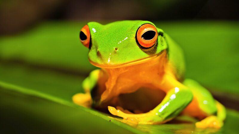 Con ếch kêu như thế nào