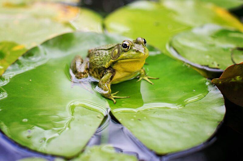 Con ếch thường kêu to sau mưa