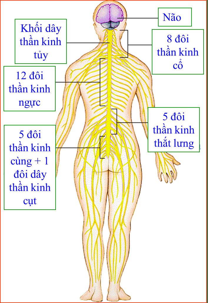 tại sao nói dây thần kinh tuỷ là dây pha