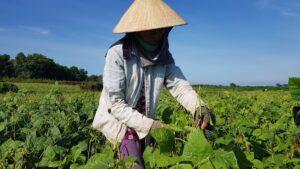 Vì sao người ta phải thu hoạch đỗ xanh và đỗ đen trước khi quả chín khô?