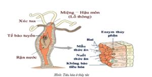 Tại sao trong túi tiêu hóa thức ăn sau khi được tiêu hóa ngoại bào lại tiếp tục tiêu hóa nội bào?