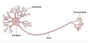 Tại sao xung thần kinh lan truyền trên sợi thần kinh có bao miêlin theo cách nhảy cóc?