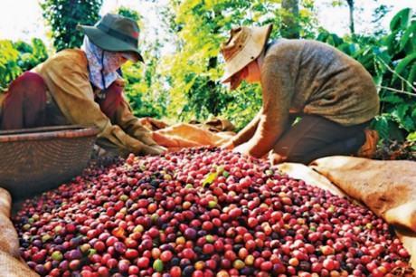Nguyên nhân giá cà phê tăng