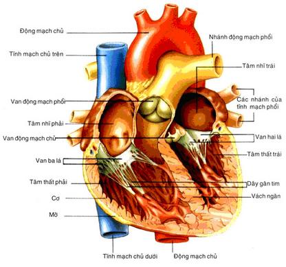 vì sao tim hoạt động suốt đời mà không mệt mỏi