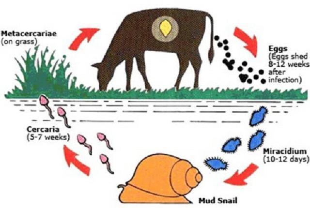 Vì sao trâu, bò nước ta mắc bệnh sán lá gan nhiều?