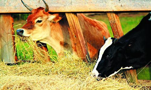 Tại sao phải chế biến và dự trữ thức ăn vật nuôi?