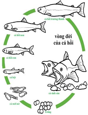 Cá hồi sống ở đâu?