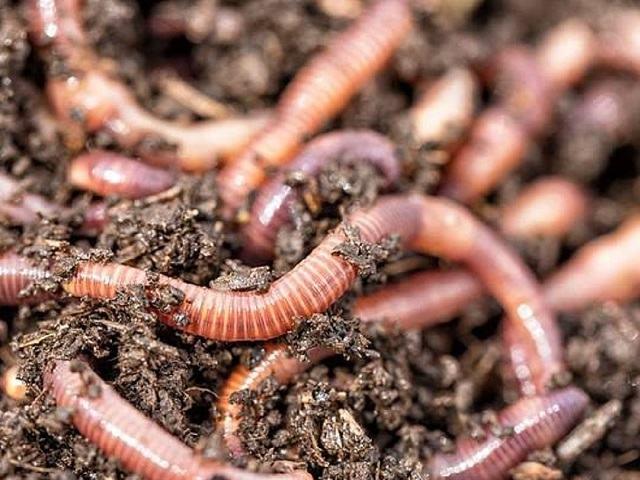 Vì sao mưa nhiều giun đất lại chui lên mặt đất?
