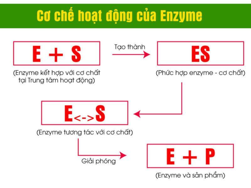 Enzyme là gì?