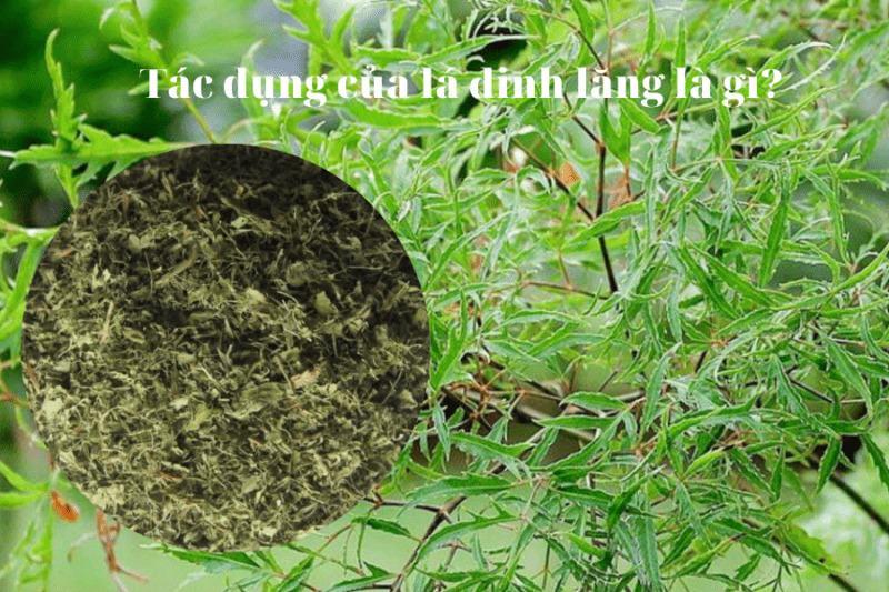 Lá đinh lăng có tác dụng gì? Những lưu ý khi dùng lá đinh lăng