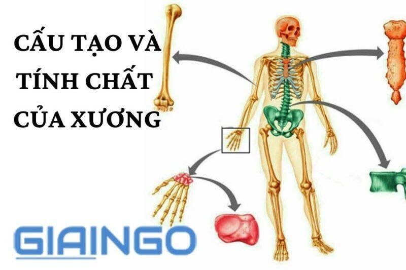Cấu tạo và tính chất của xương?