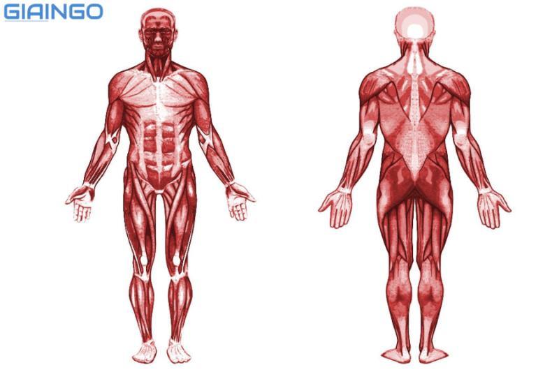 Cấu tạo và tính chất của cơ