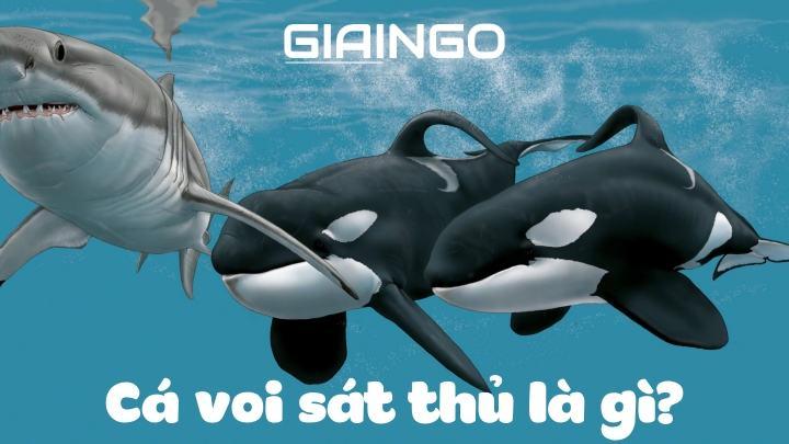 Cá voi sát thủ ăn gì