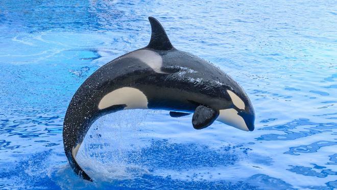 Cá voi sát thủ là gì?
