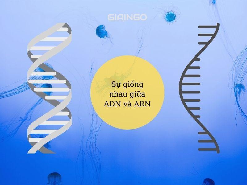 Sự khác nhau giữa ADN và ARN về cấu trúc và chức năng