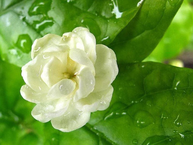 hoa gì nở về đêm